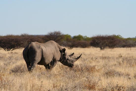 Black Rhino, Etosha National Park