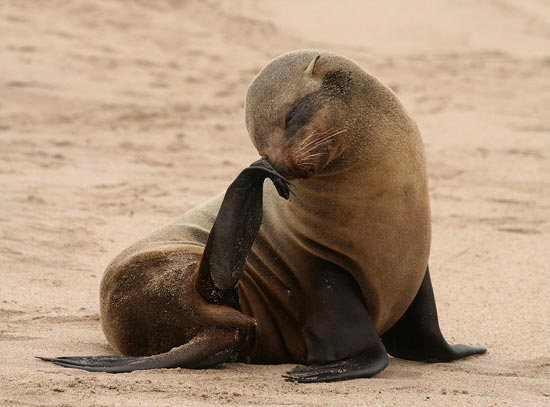 Cape Fur Seal, Walvis Bay
