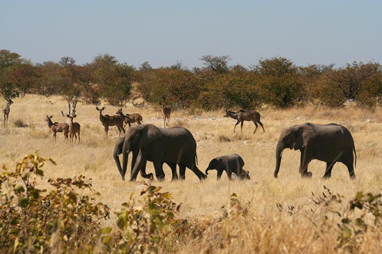 African Elephants and Kudu, Etosha National Park