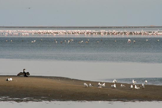 Greater and Lesser Flamingos, Walvis Bay Lagoon