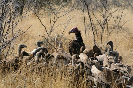 Lappet-faced Vulture, Etosha National Park