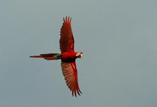 Red-and-Green Macaws, Blanquillo clay lick