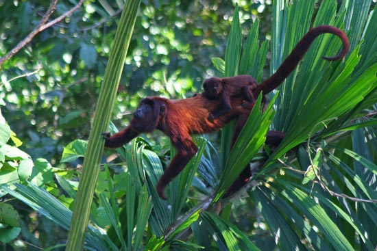 Red Howler Monkeys, Manu Wildlife Centre
